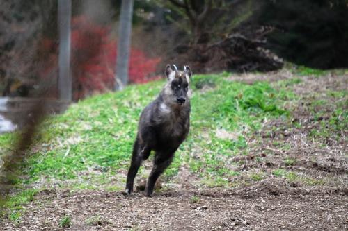【山形】カモシカVS飼い犬、仲裁の男性けが
