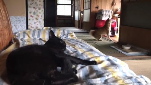 ご主人サマが帰ってきたときの柴犬と猫の反応