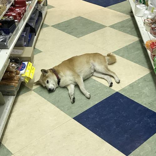 柴犬が店内に落ちまくっていたことお詫び申し上げます