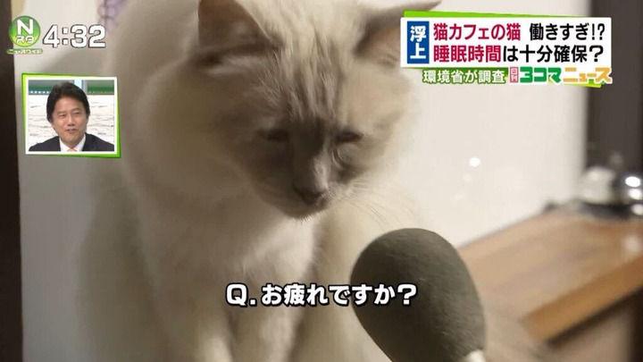【画像】猫カフェの猫、働きすぎて労働基準違反 …
