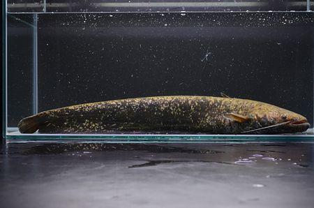 新種の日本産ナマズ「タニガワナマズ」発見