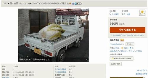 ★巨大白菜(はくさい)★GIANT CHINESE CABBAGE