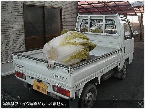 ★巨大白菜(はくさい)★GIANT CHINESE CABBAGE2