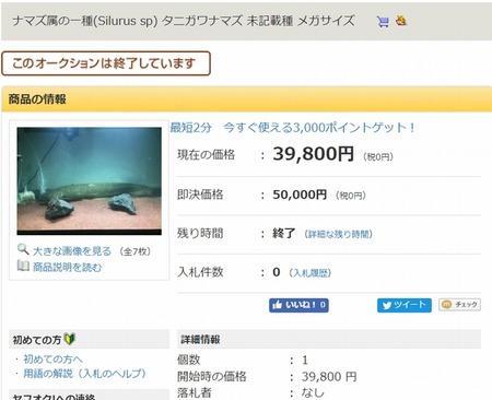 新種の日本産ナマズ「タニガワナマズ」発見2