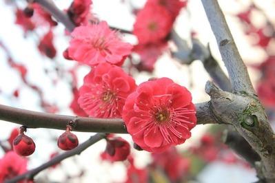 梅の花plum-blossom-89535_1280