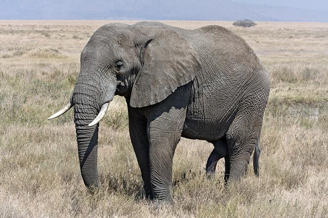 1200px-Serengeti_Elefantenbulle