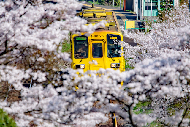九大本線と桜