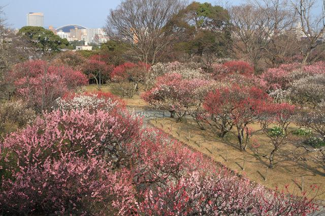 舞鶴公園の梅