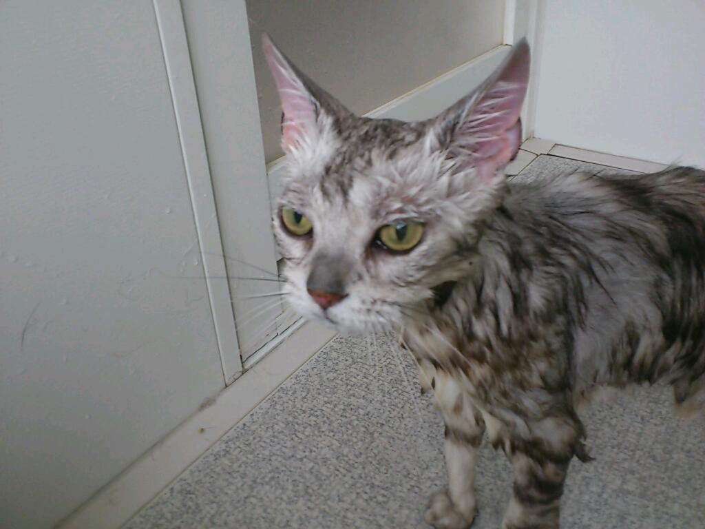 猫風呂 : 【ぬれねこ】濡れ猫な ...