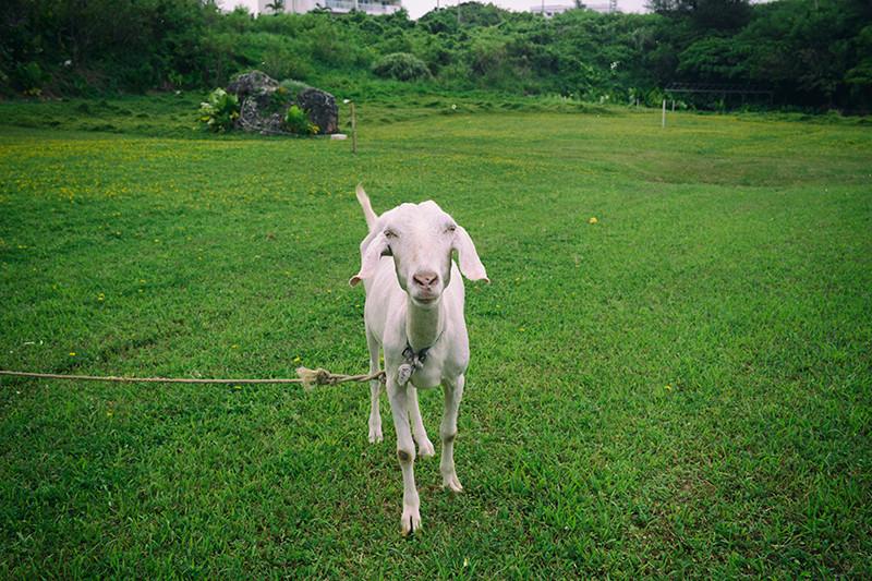 読谷村のヤギ