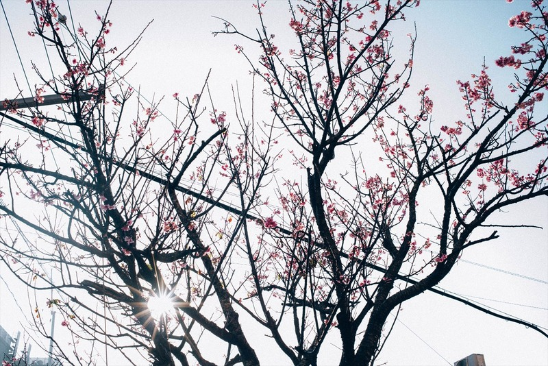 沖縄の桜の時期