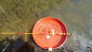 バラタナゴ釣り