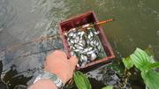 タナゴ釣り (1)