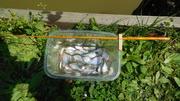 タナゴ釣り