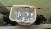 タナゴ釣り1