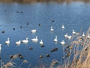 白鳥 (2)