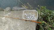 タナゴ釣り (3)