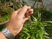 稚児寒竹の筍