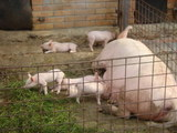 豚豚子豚2