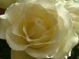薔薇のハナ30