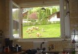 家の窓から牛が