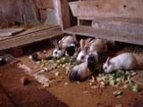 ウサギとモルモット