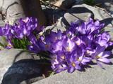 春らしく1