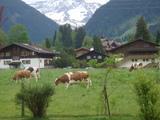 家の前に牛。。。