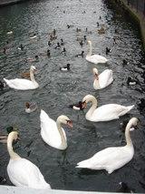THUNの白鳥