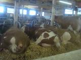 牛を見ながらミルク