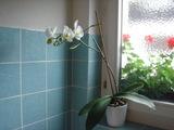 蘭の花咲いたよ。お風呂で。。。