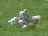 pig & goat