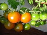 トマトが赤くなってきたよ〜