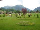 等間隔で牛が草を食べる