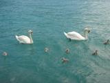 白鳥と7匹