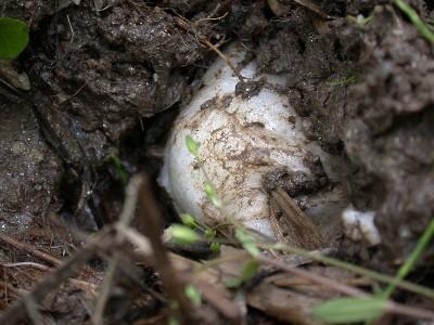 DSCN2984 シュレーゲルの卵塊