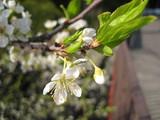 スモモの花も。