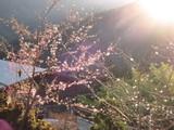 桜の競演。