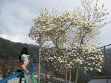 モクレンも咲きました。