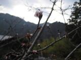 この桜って・・・。