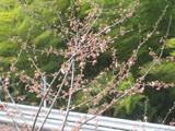 咲いてます。