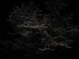 平岡ダムの夜桜。