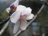ヒマラヤ桜?
