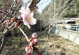 伊那小沢の桜