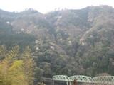 天龍橋と山桜