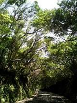 四国南端の照葉樹林