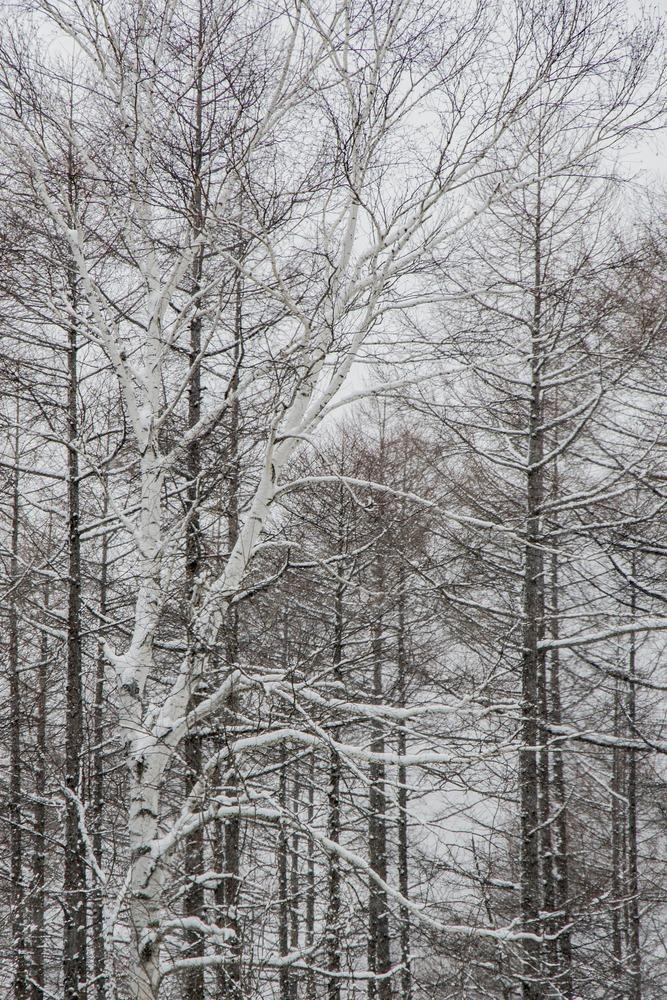 冬景色、雪降る森