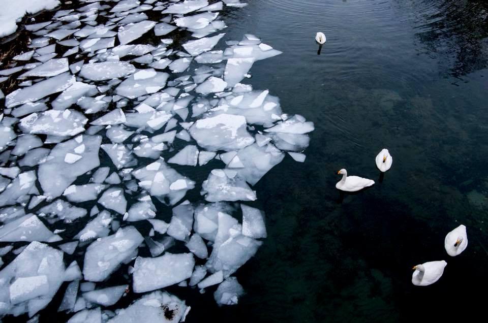 十和田湖の白鳥《美しい日本の風景》