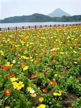 花畑と開聞岳