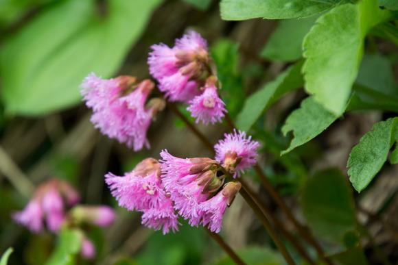 飯豊山花-2